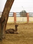 Baby camel, National Research Centre on Camels, Bikaner.