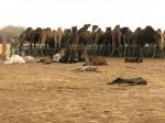Female camels eating, National Research Centre on Camels, Bikaner.Bikaner.